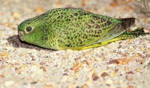 Close-up-of-Night-Parrot-Steve-Murphy