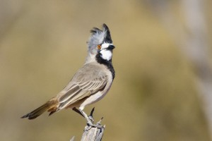 Crested Bellbird (JB)