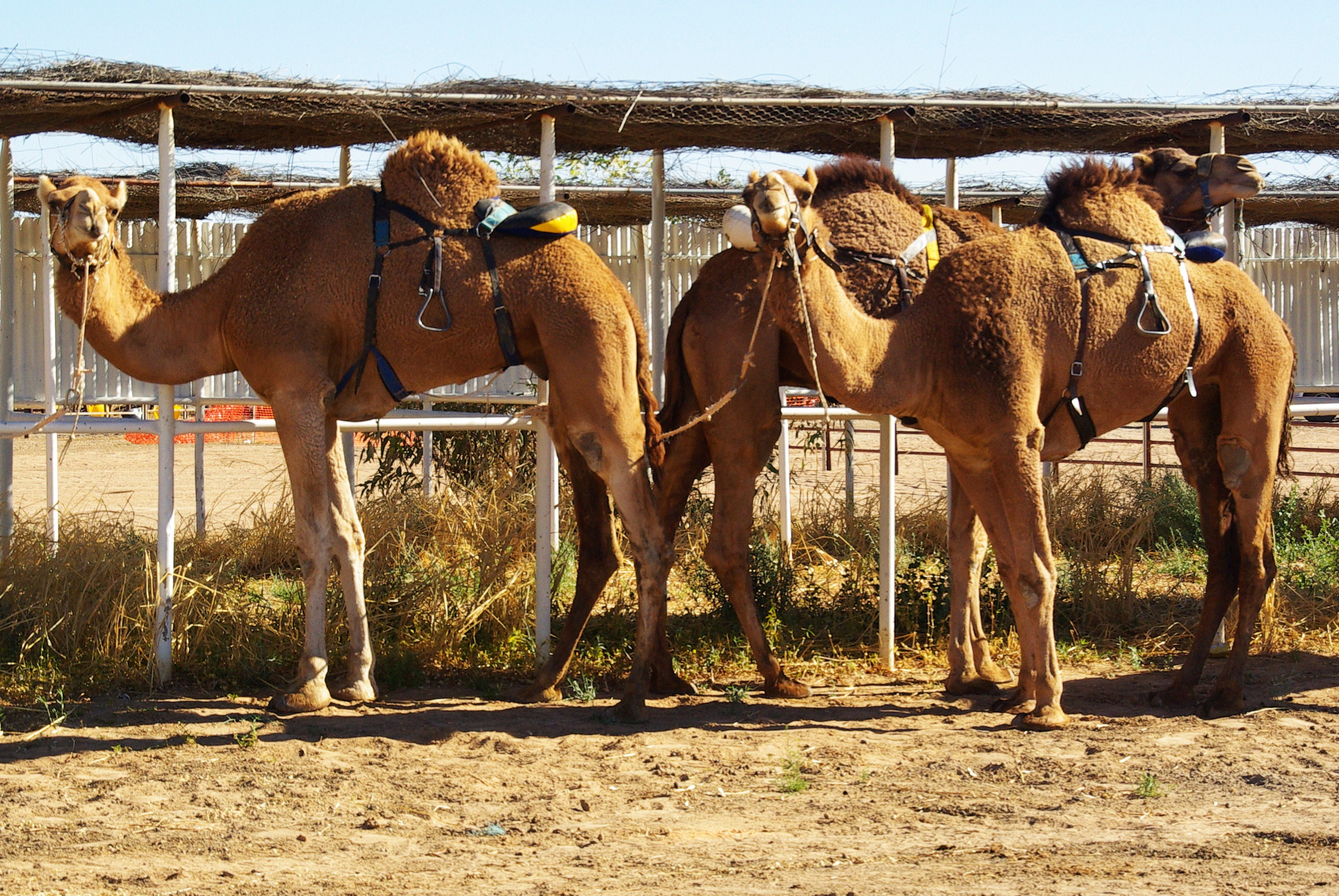 Camels ready for Boulia Camel Race