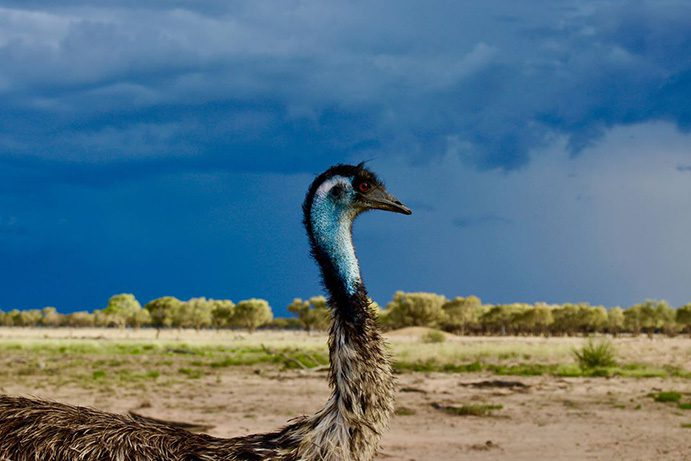 Emu Shandonvale Station | 6 wildlife to spot in Outback Queensland