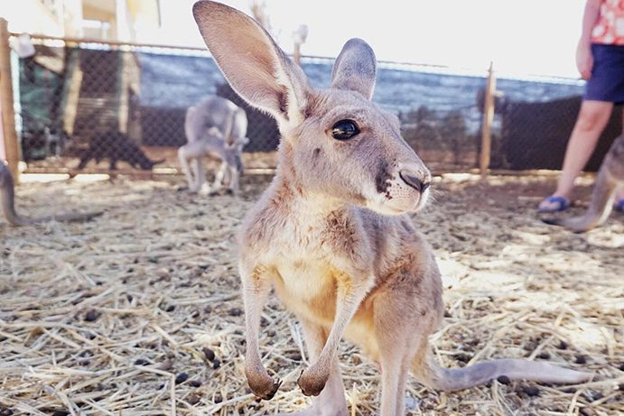 Kangaroo | 6 wildlife to spot in Outback Queensland