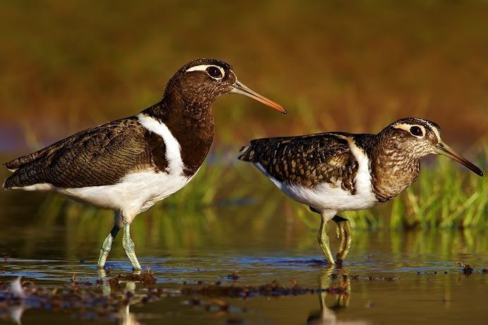 Painted Snipe | A bird enthusiast's guide to Cunnamulla