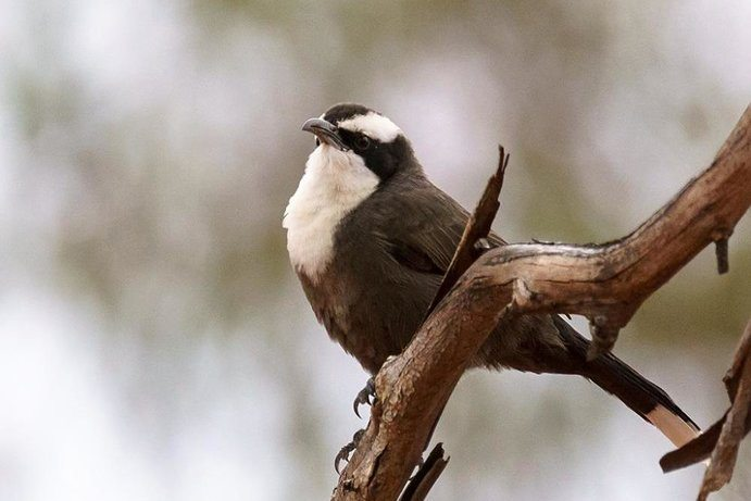 Hall's Babbler |A bird enthusiast's guide to Cunnamulla