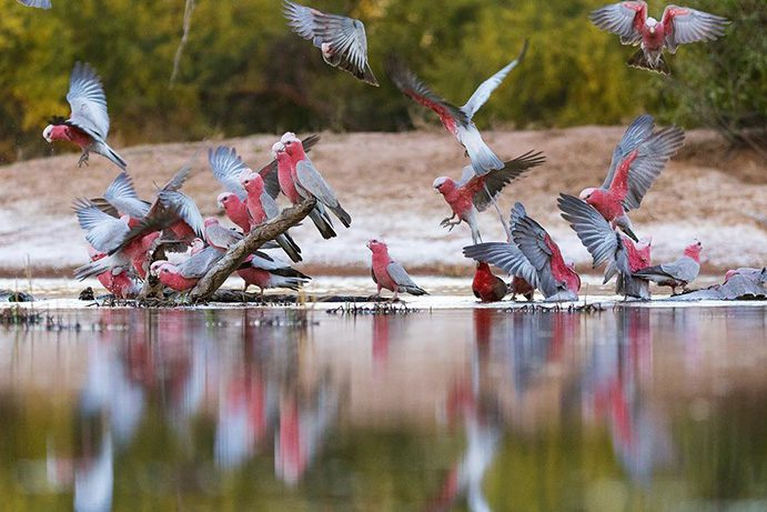 Bowra Sanctuary Cunnamulla | A bird enthusiasts guide to Cunnamulla